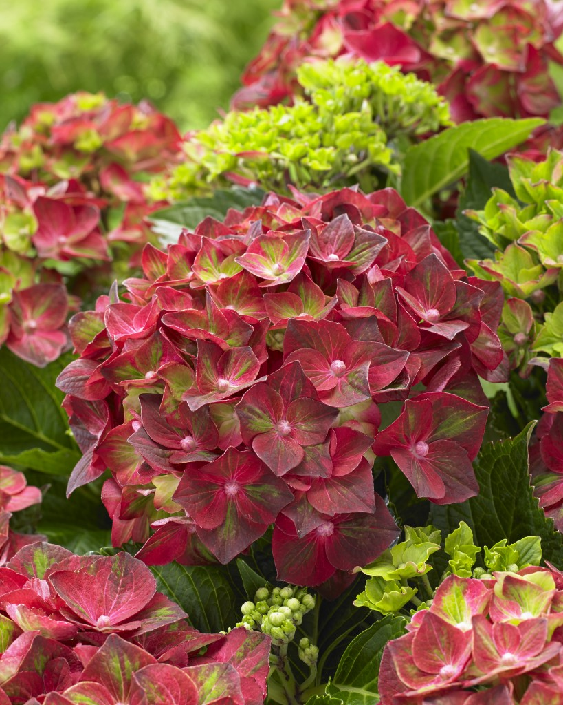 Hydrangea macrophylla Ruby Tuesday